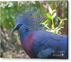 Pigeon Elegante Acrylic Print by Judy Kay