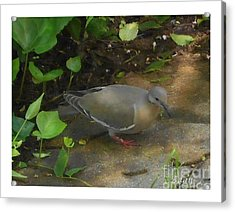 Acrylic Print featuring the photograph Pigeon by Felipe Adan Lerma