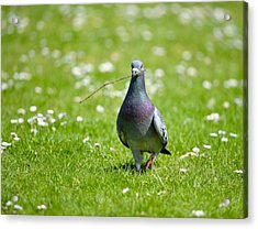 Pigeon In Spring Acrylic Print by Kathy King