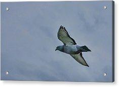 Pigeon In Flight Acrylic Print by Marilyn Wilson