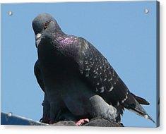 Pigeon On A Roof Acrylic Print by Lori Seaman