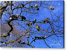 Pigeons Perching In A Tree Together Acrylic Print by Sami Sarkis