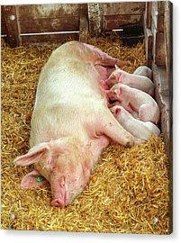 Piglet Feeding Time Acrylic Print