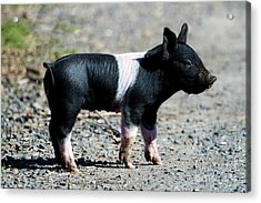 Piglet On The Loose Acrylic Print