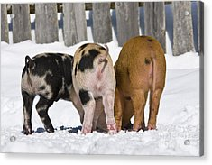 Piglets From Behind Acrylic Print