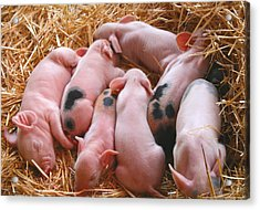Piglets Acrylic Print
