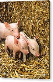 Piglets Acrylic Print by Science Source