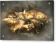 Pile Of Sleeping Bobcats Acrylic Print