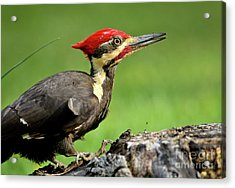 Pileated 2 Acrylic Print by Douglas Stucky