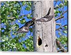 Pileated #27 Acrylic Print by James F Towne