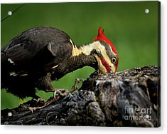 Pileated 3 Acrylic Print by Douglas Stucky