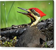 Pileated Acrylic Print by Douglas Stucky