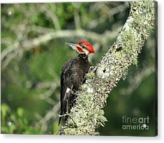 Pileated Perch Acrylic Print by Al Powell Photography USA