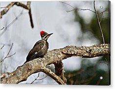 Acrylic Print featuring the photograph pileated Woodpecker 1068  by Michael Peychich