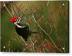 Pileated Woodpecker Acrylic Print by Alan Lenk