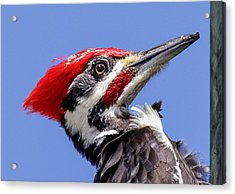 Acrylic Print featuring the photograph Pileated Woodpecker Headshot by Phil Stone