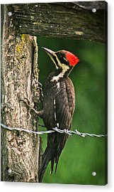 Acrylic Print featuring the photograph Pileated Woodpecker by Jessica Brawley