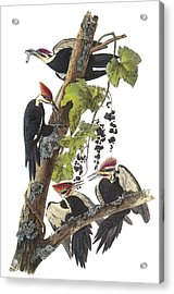 Pileated Woodpecker Acrylic Print by John James Audubon