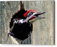Acrylic Print featuring the photograph Pileated Woodpecker Looking Out by Phil Stone