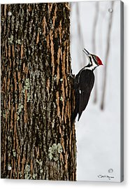 Pileated Woodpecker Acrylic Print by Skip Tribby
