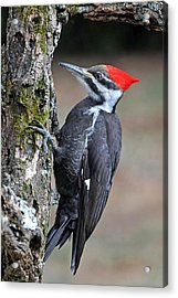 Pileated Woopecker  Female Acrylic Print by Alan Lenk