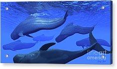Pilot Whale Pod Acrylic Print by Corey Ford
