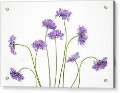 Pincushion #2 Acrylic Print