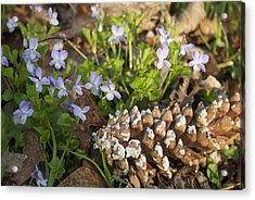 Pine Cone And Spring Phlox Acrylic Print by Michael Peychich