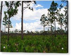 Pine Flatwoods Acrylic Print by Steven Scott