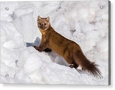 Pine Marten In Snow Acrylic Print by Yeates Photography
