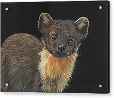 Pine Marten Acrylic Print
