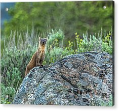 Acrylic Print featuring the photograph Pine Marten With Attitude by Yeates Photography