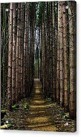 Pine Path  Acrylic Print