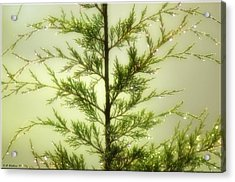 Acrylic Print featuring the photograph Pine Shower by Brian Wallace