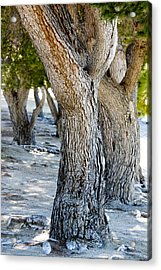 Pine Tree Acrylic Print by Ivete Basso Photography