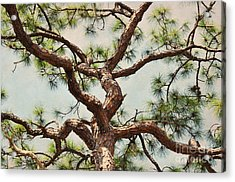 Pine Tree Acrylic Print by Rose  Hill