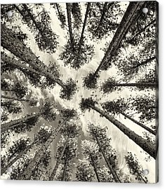 Pine Tree Vertigo - Square Sepia Acrylic Print by Adam Pender