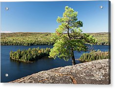 Acrylic Print featuring the photograph Pine Tree With A View by Elena Elisseeva