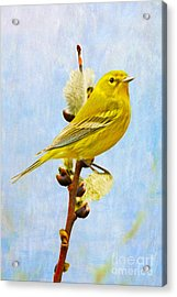 Pine Warbler On Willow Catkin Acrylic Print