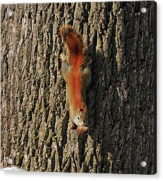 Piney Squirrel Acrylic Print by David Arment
