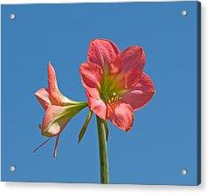 Pink Amaryllis Flowering In Spring Acrylic Print by Allan  Hughes