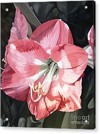 Pink Amaryllis Acrylic Print by Laurie Rohner