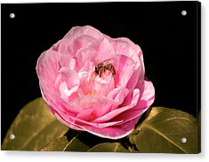 Pink And Bee Acrylic Print