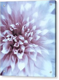 Pink And Blue Dahlia Acrylic Print
