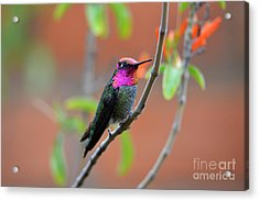 Pink And Gold Anna's Hummingbird Acrylic Print