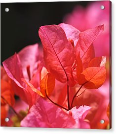 Pink And Orange Bougainvillea - Square Acrylic Print by Rona Black