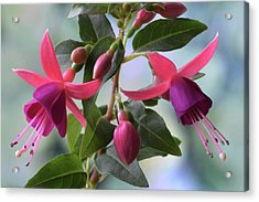 Acrylic Print featuring the photograph Pink And Purple Fuchsia by Terence Davis