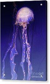 Pink And Purple Jellyfish Acrylic Print