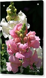 Acrylic Print featuring the photograph Sweet Peas by Eunice Miller
