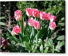 Pink And White Fringed Tulips Acrylic Print by Louise Heusinkveld